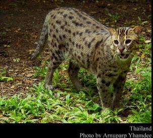 Wild Cats Of Thailand Teakdoor Com The Thailand Forum