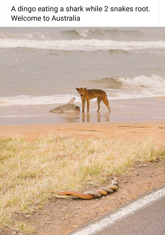 From the 'Only in Australia' File #001-dingo-jpg