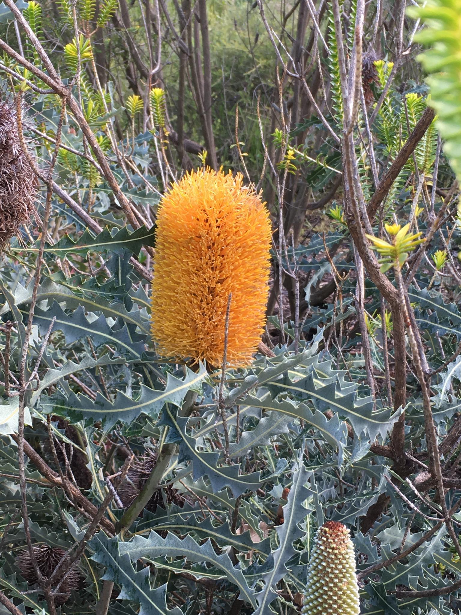 Indigenous wildflowers of Western Australia-img_1771r-jpg