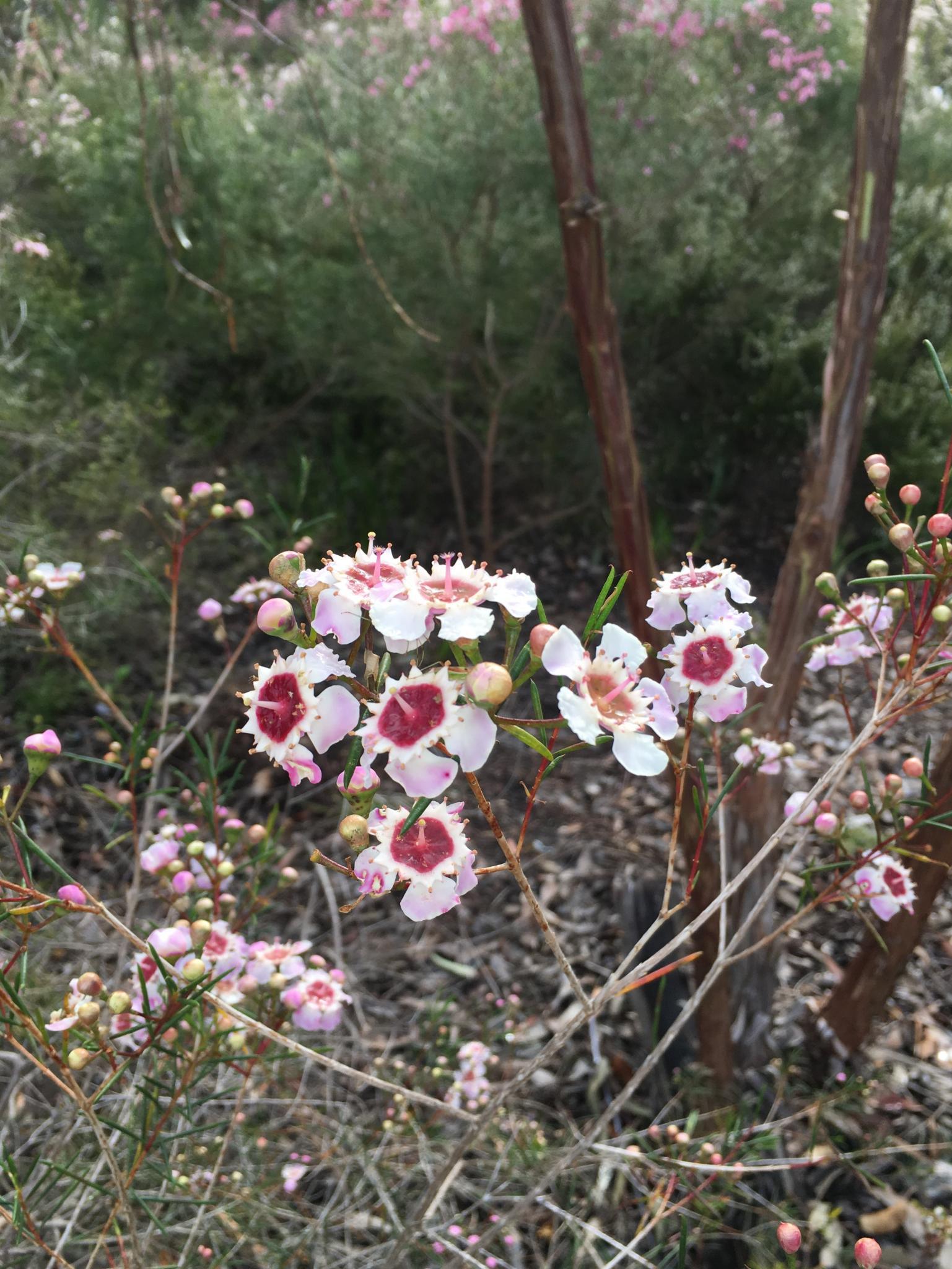 Indigenous wildflowers of Western Australia-img_1777r-jpg