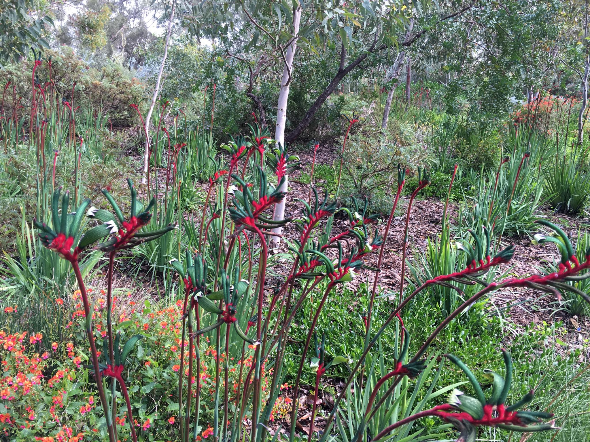 Indigenous wildflowers of Western Australia-img_1772r-jpg