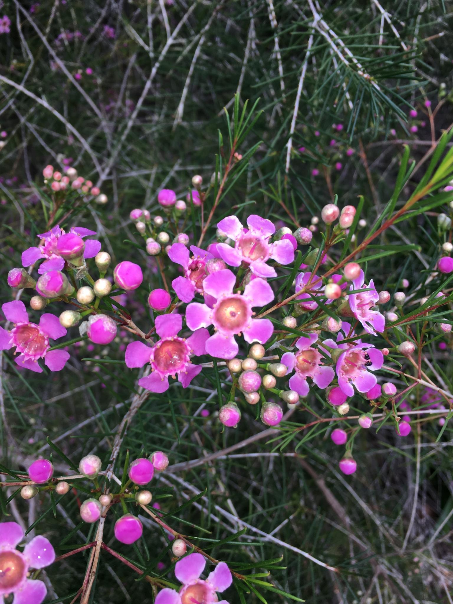 Indigenous wildflowers of Western Australia-img_1778r-jpg