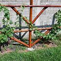 DIY ...inexpensive, strong grape arbor.-dscf0766-jpg
