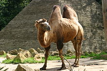 Mandaloopy does China-220px-bactrian_camel-jpg