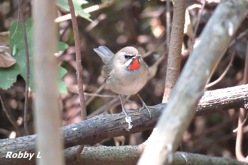 Thailand bird photos-siberian-rubythroat-jpg