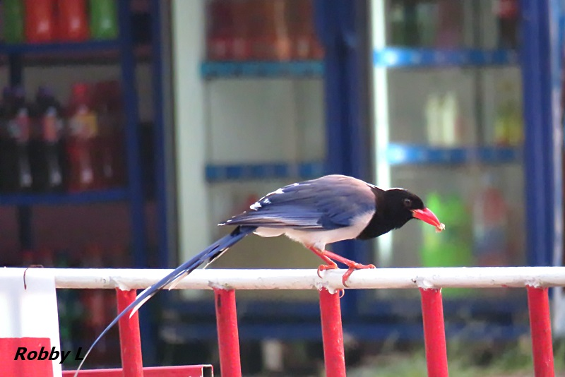 Thailand bird photos-red-billed-blue-magpie-jpg