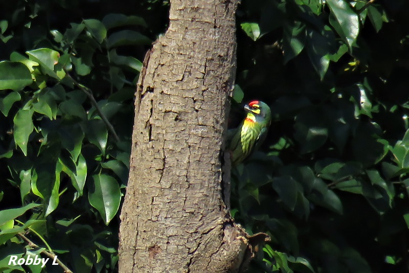 Thailand bird photos-copersmith-barbet-window-jpg