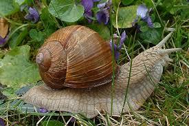 Do Thais eat snails ?-download-jpg