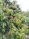 What's in your garden?-mango-2-jpg