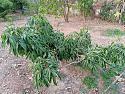 What's in your garden?-lychee-2-jpg