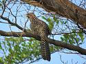 Thailand bird photos-sm-img_0015-jpg