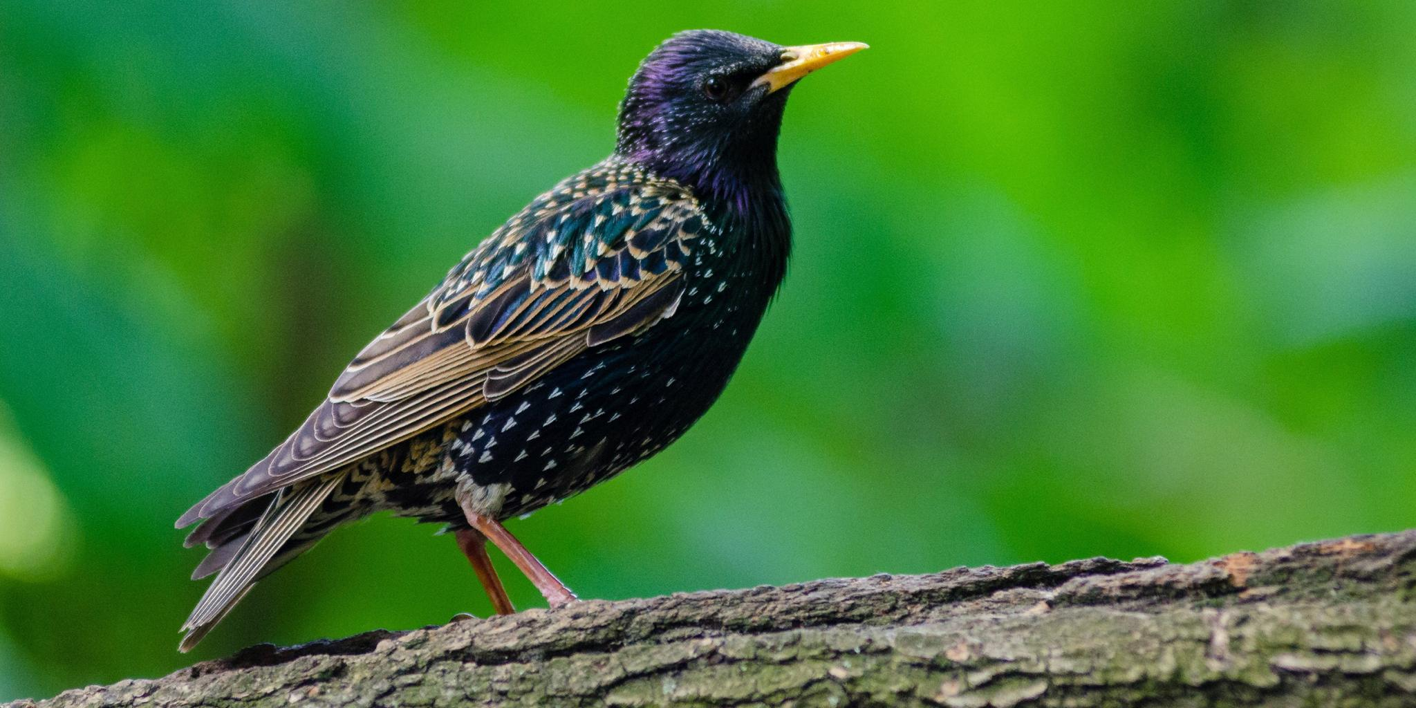 Thailand bird photos-starling-jpg