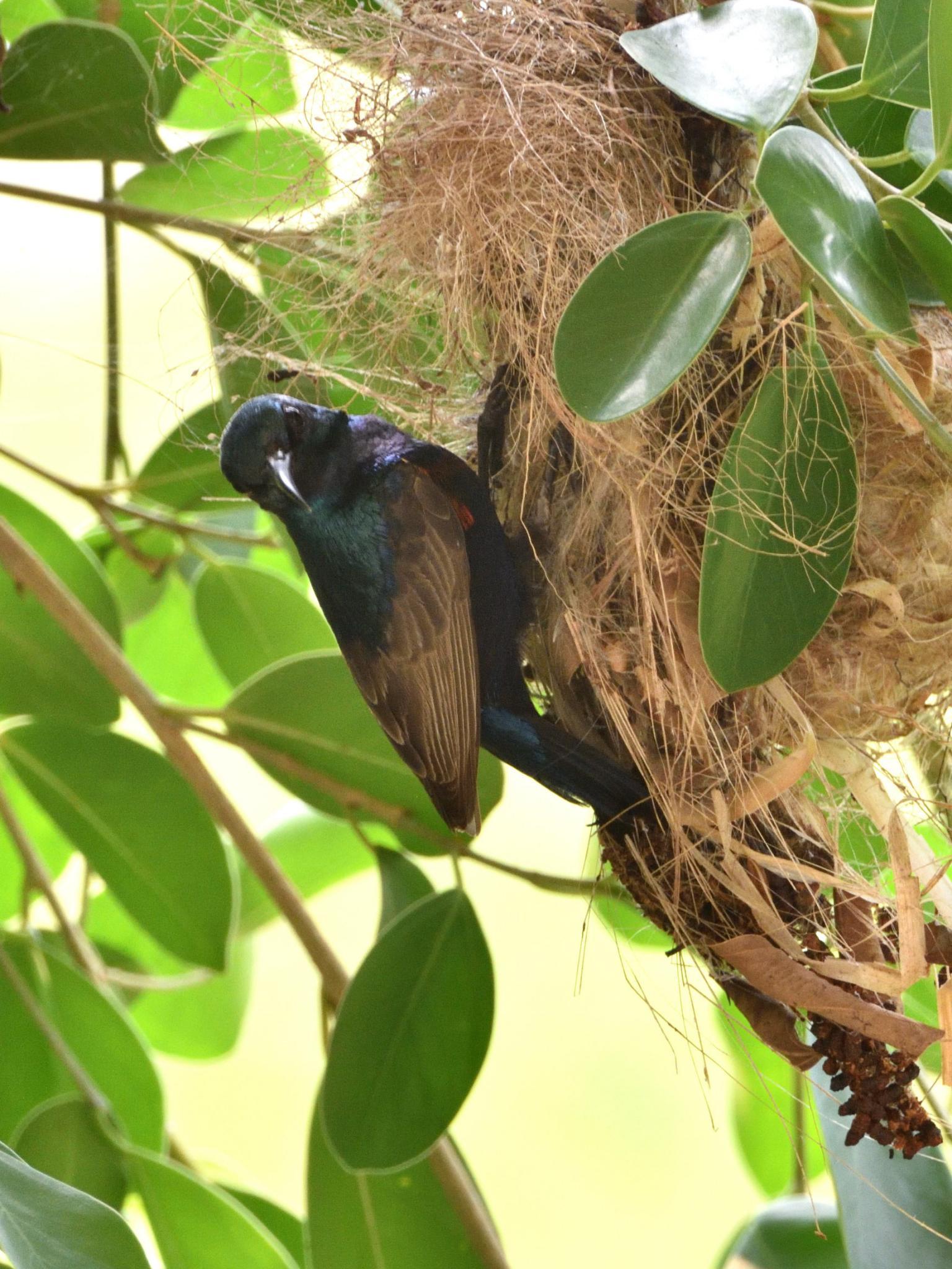 Thailand bird photos-jrh_0982_00002-jpg