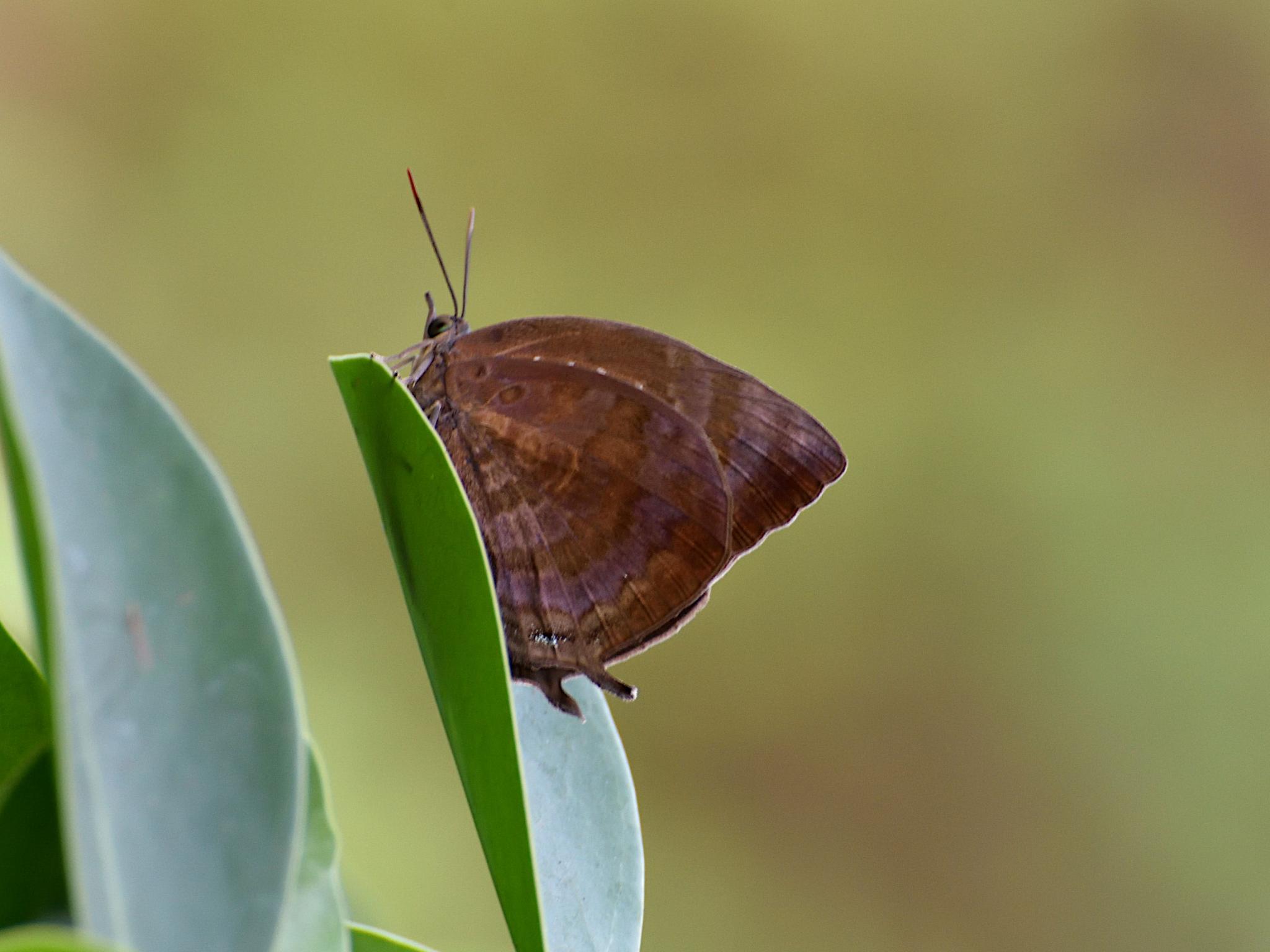 Thai Butterfly Photos-centaur_oakblue_1075_1-jpg