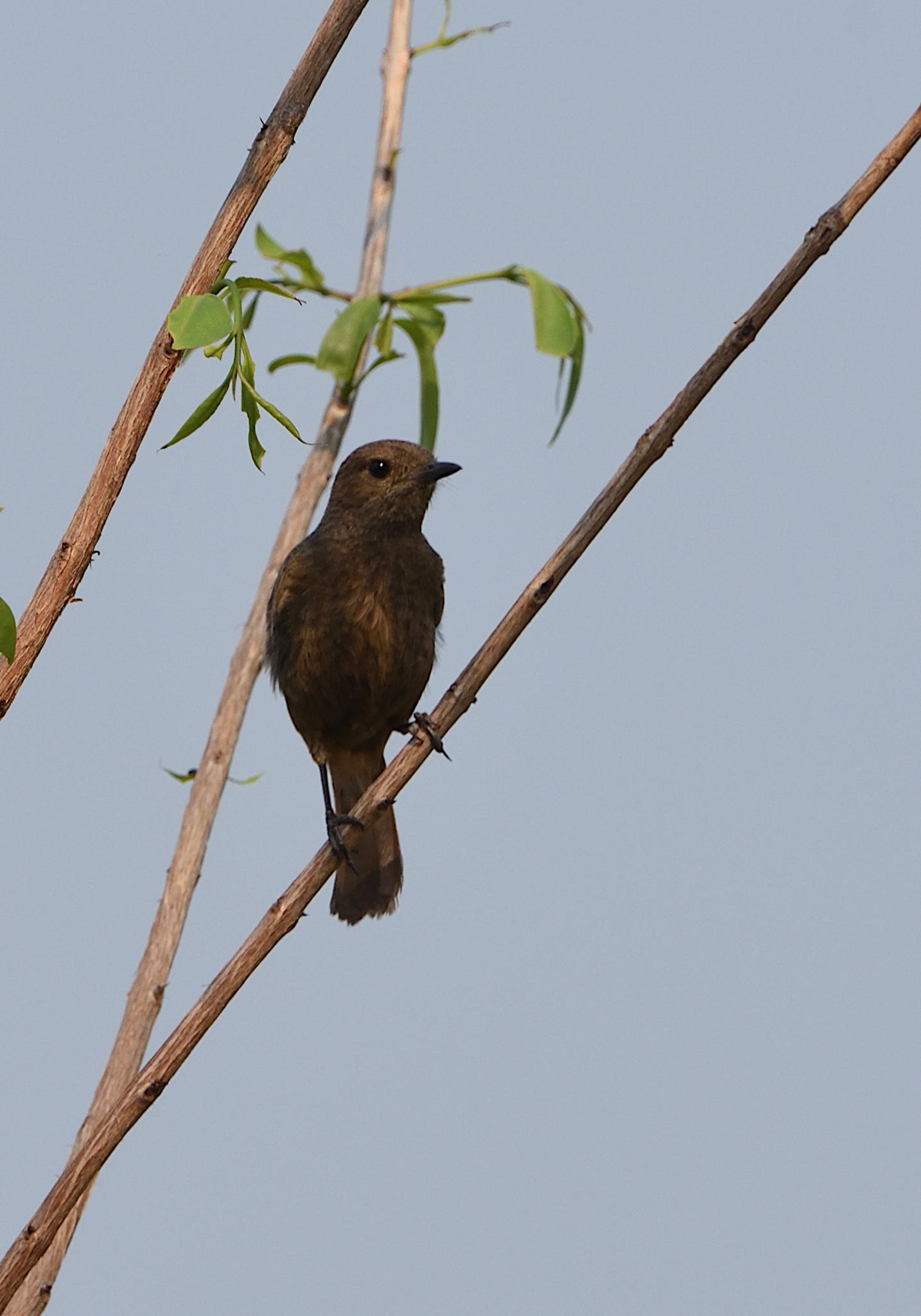 Thailand bird photos-jrh_1053_1s-jpg