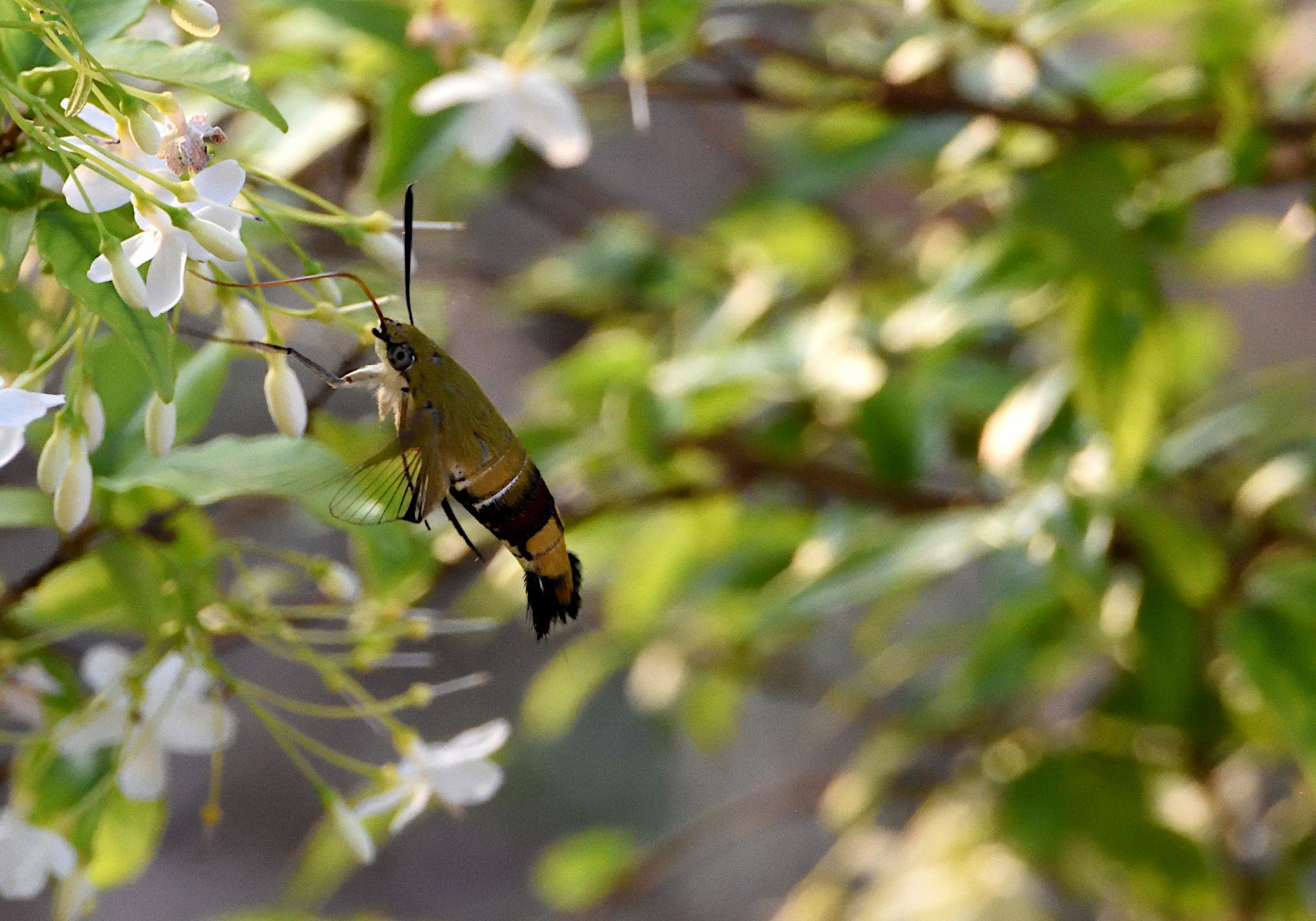 Thai Butterfly Photos-jrh_hawkmoth_1342_1-jpg