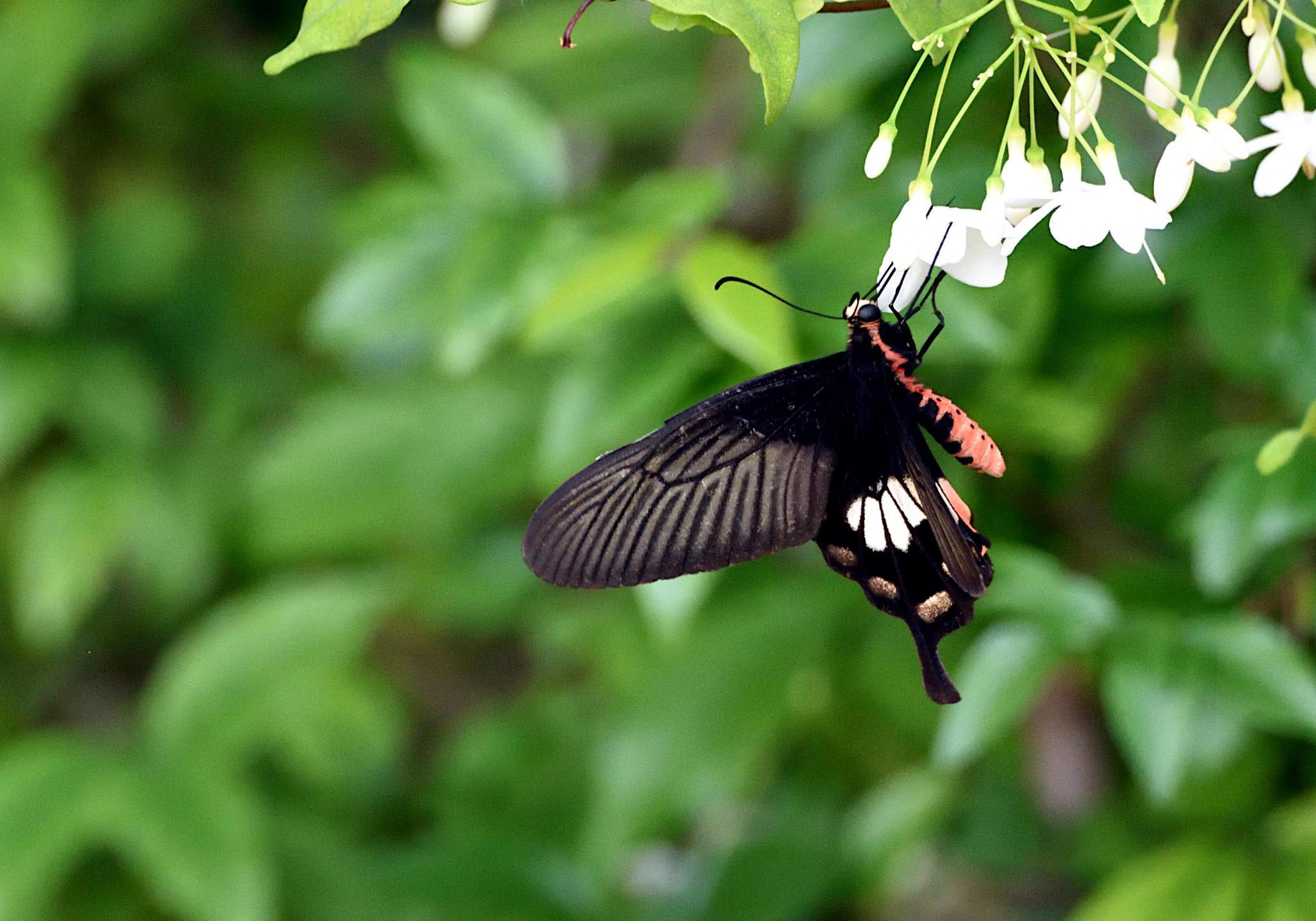 Thai Butterfly Photos-common_rose_1349-jpg