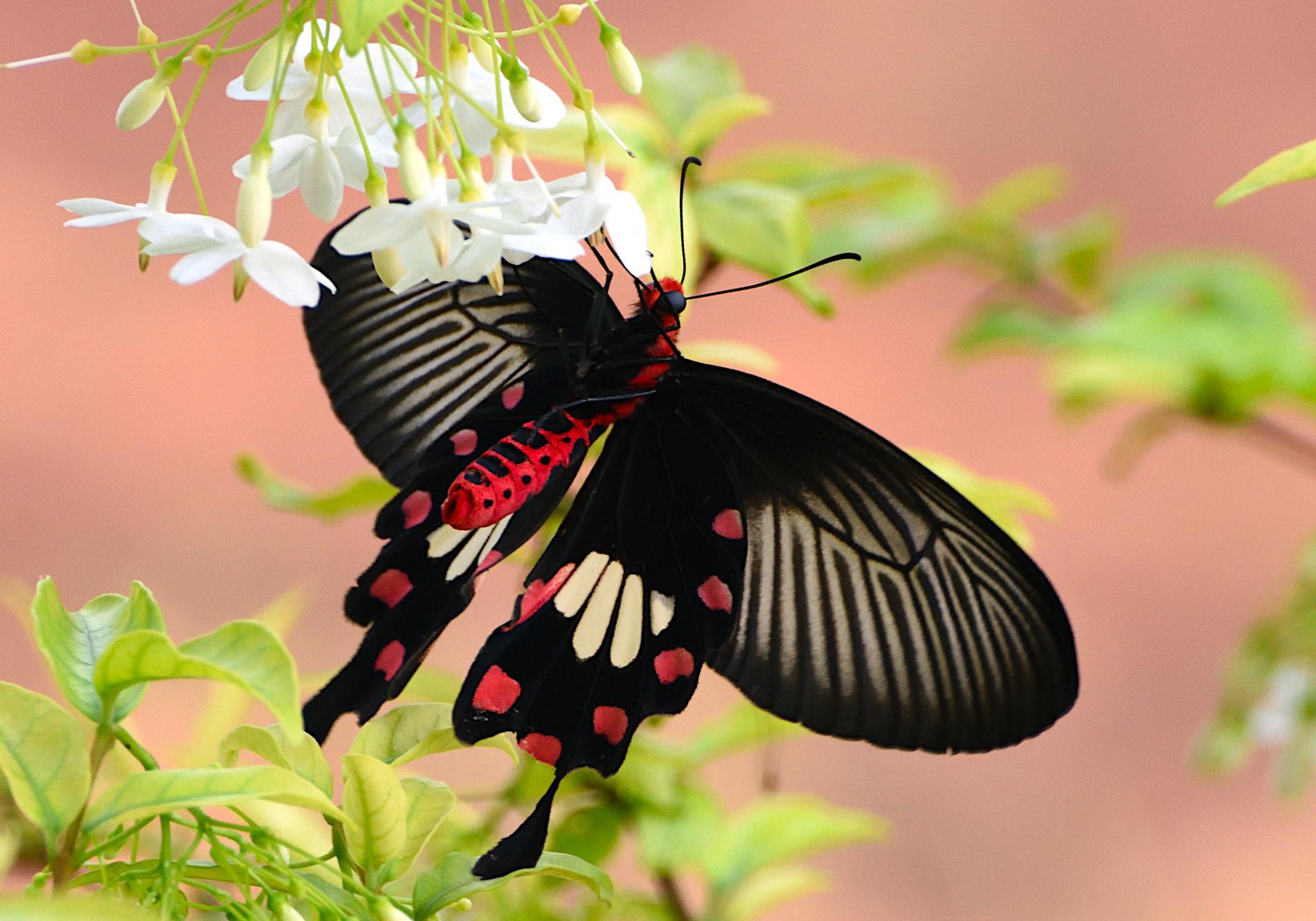 Thai Butterfly Photos-common_rose_1370-jpg
