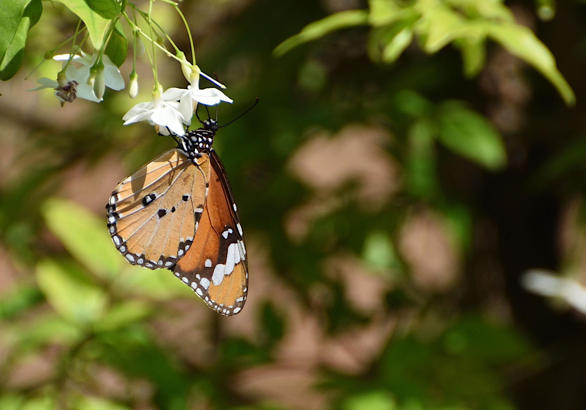 Thai Butterfly Photos-plain_tiger_1491_01-jpg