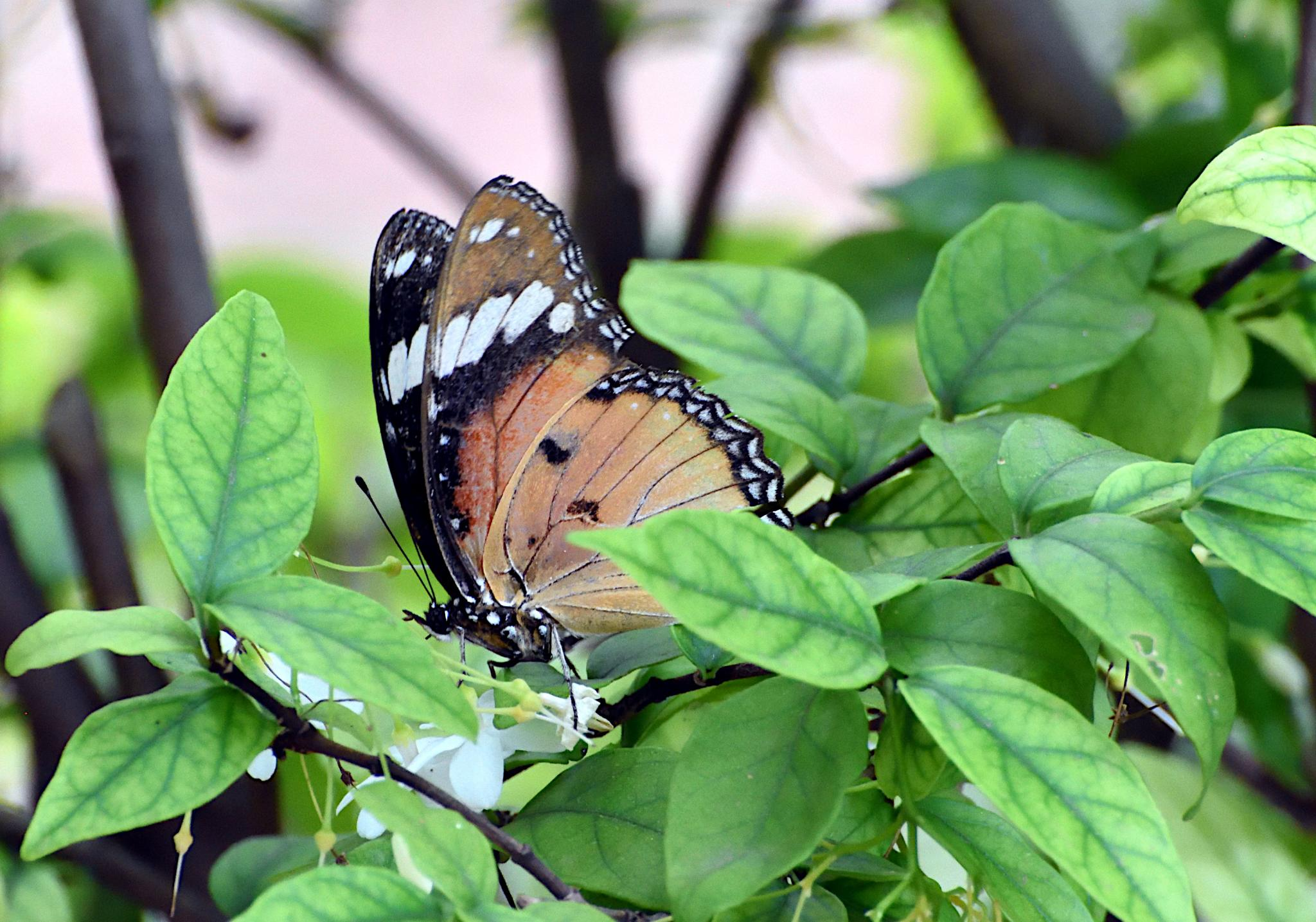 Thai Butterfly Photos-danaid_1524_1-jpg