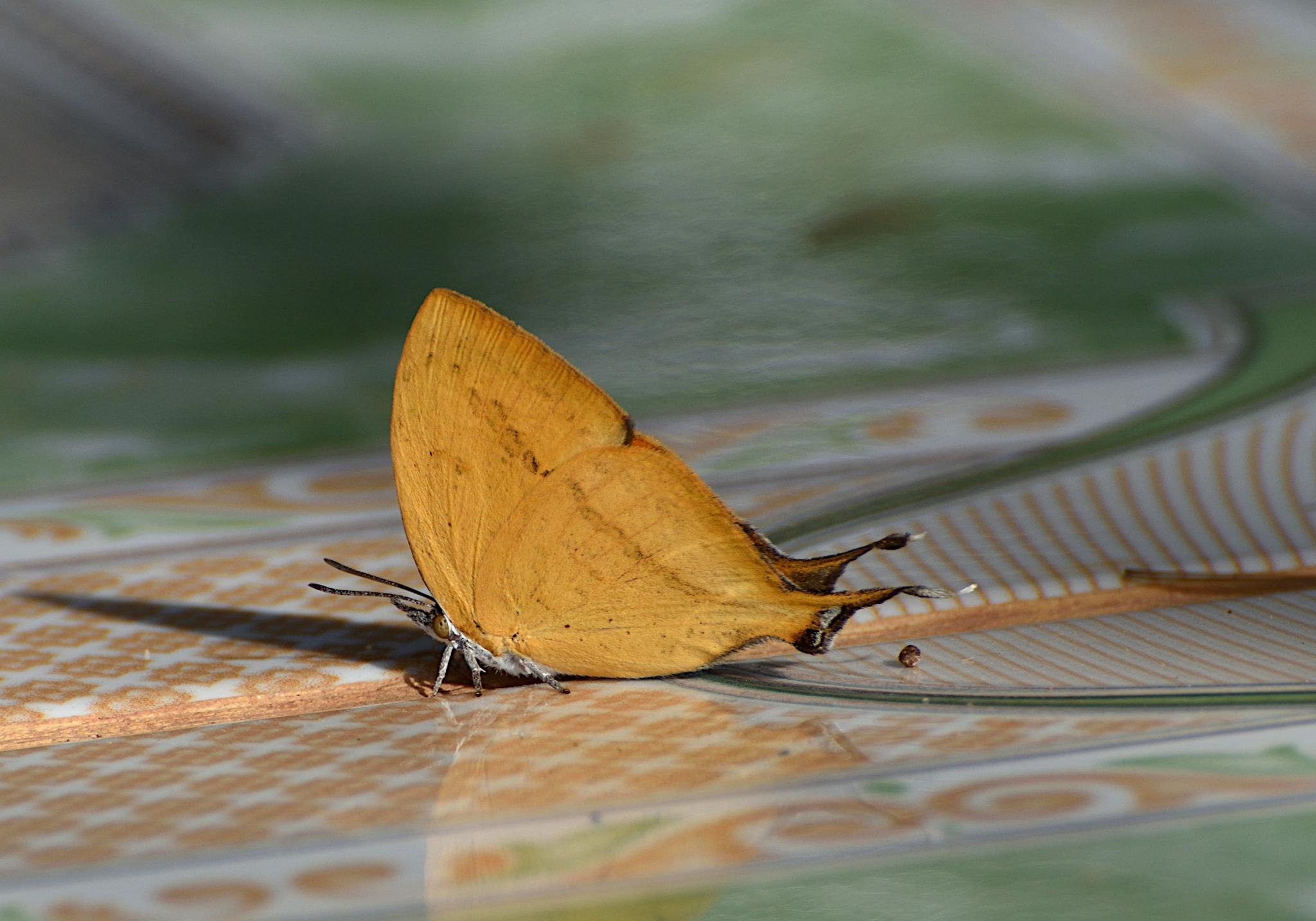 Thai Butterfly Photos-yamfly_1566_1-jpg