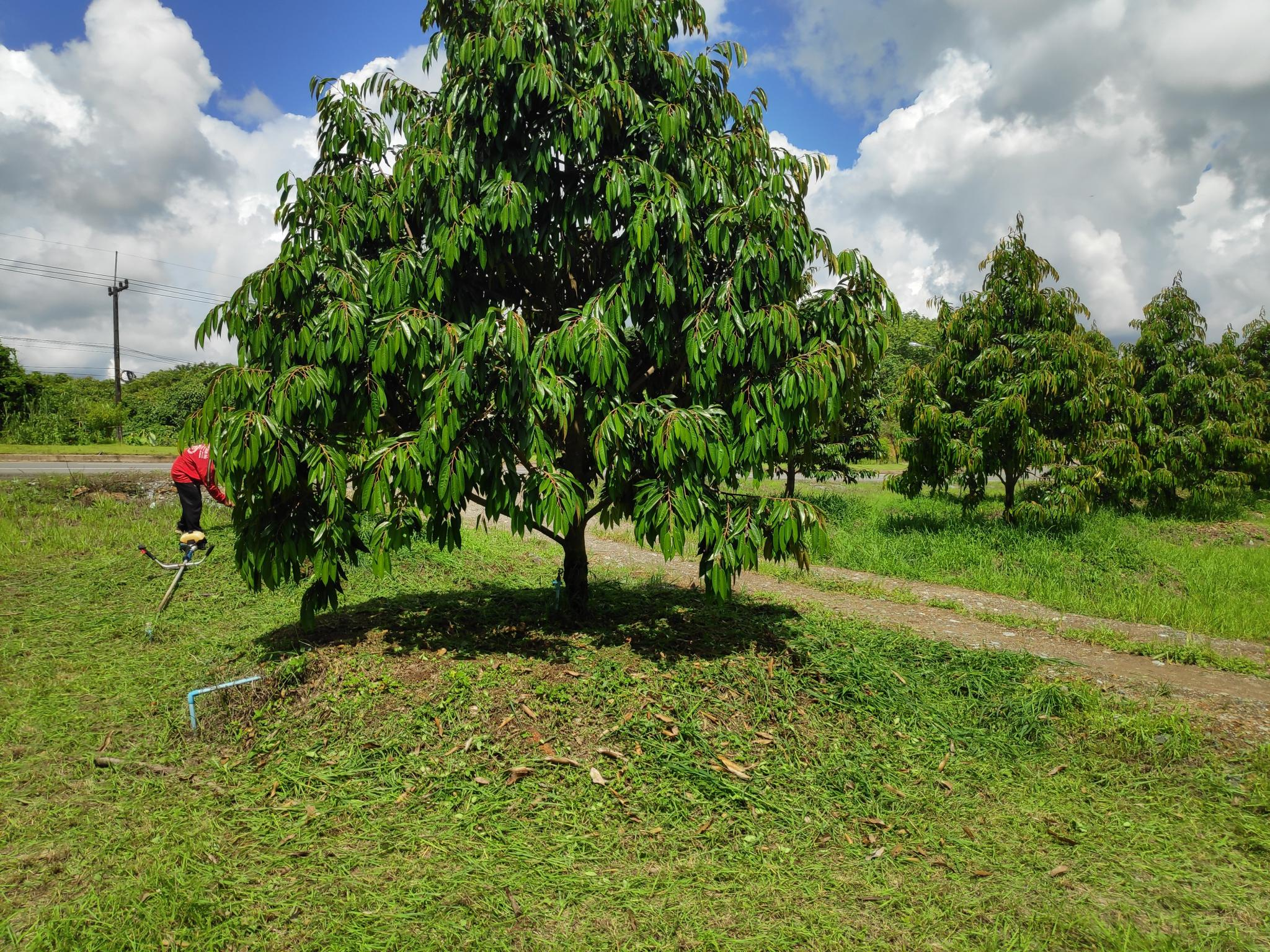 Switching from rubber to fruit trees-durian3-jpg