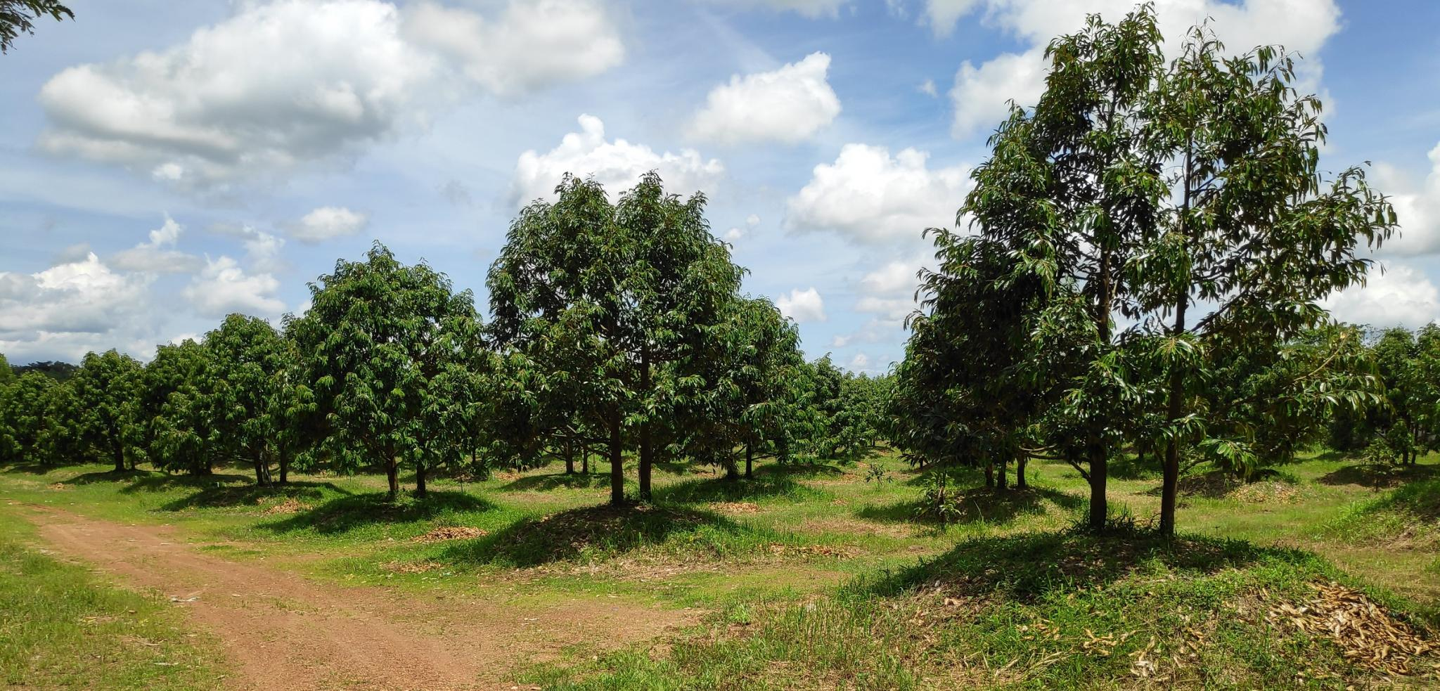 Switching from rubber to fruit trees-durian-2-e-jpg