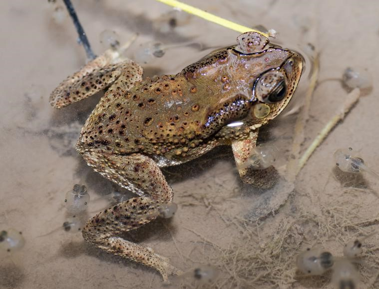 What's in your garden?-asian-common-toad-jpg