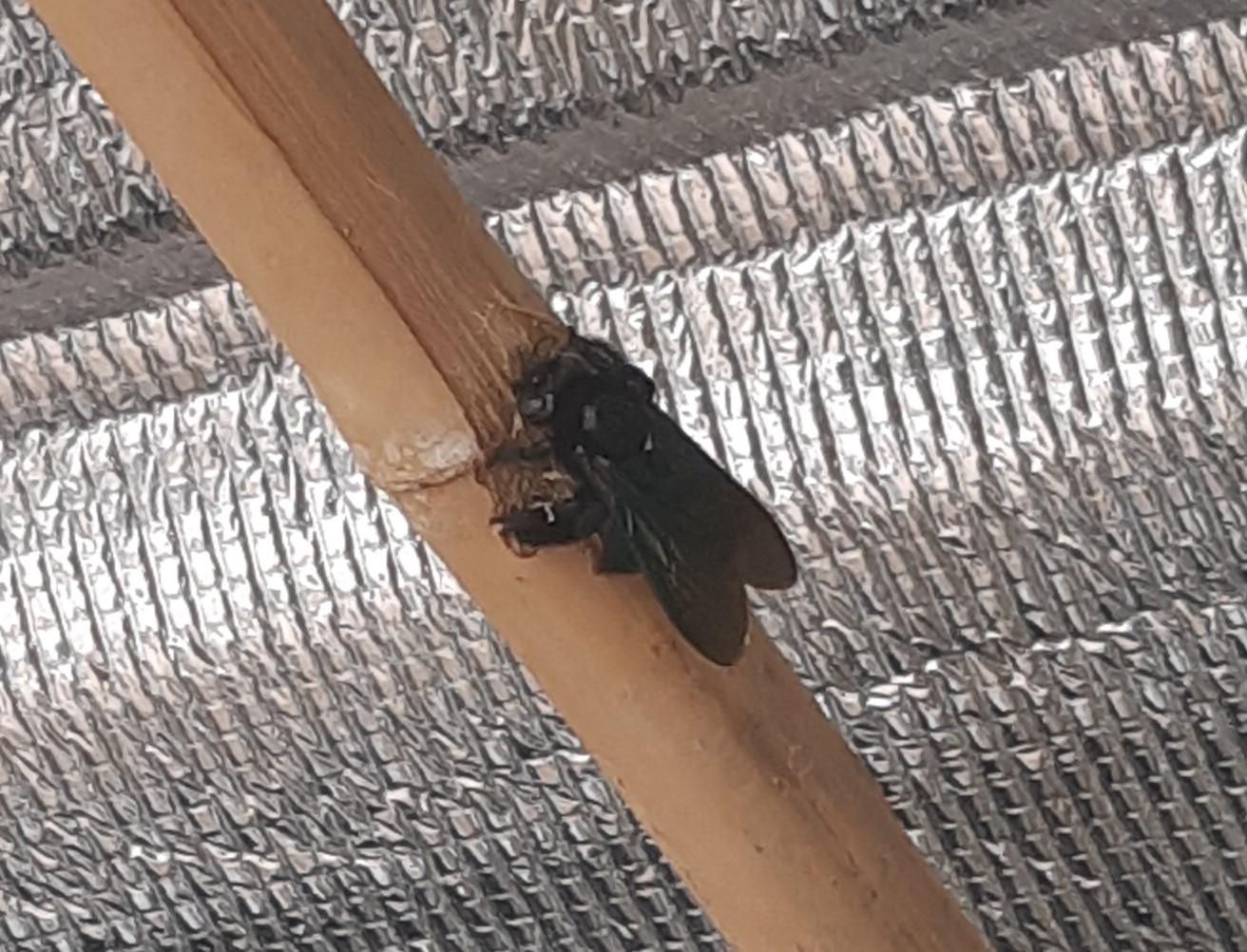 What's in your garden?-carpenter-bee1-jpg