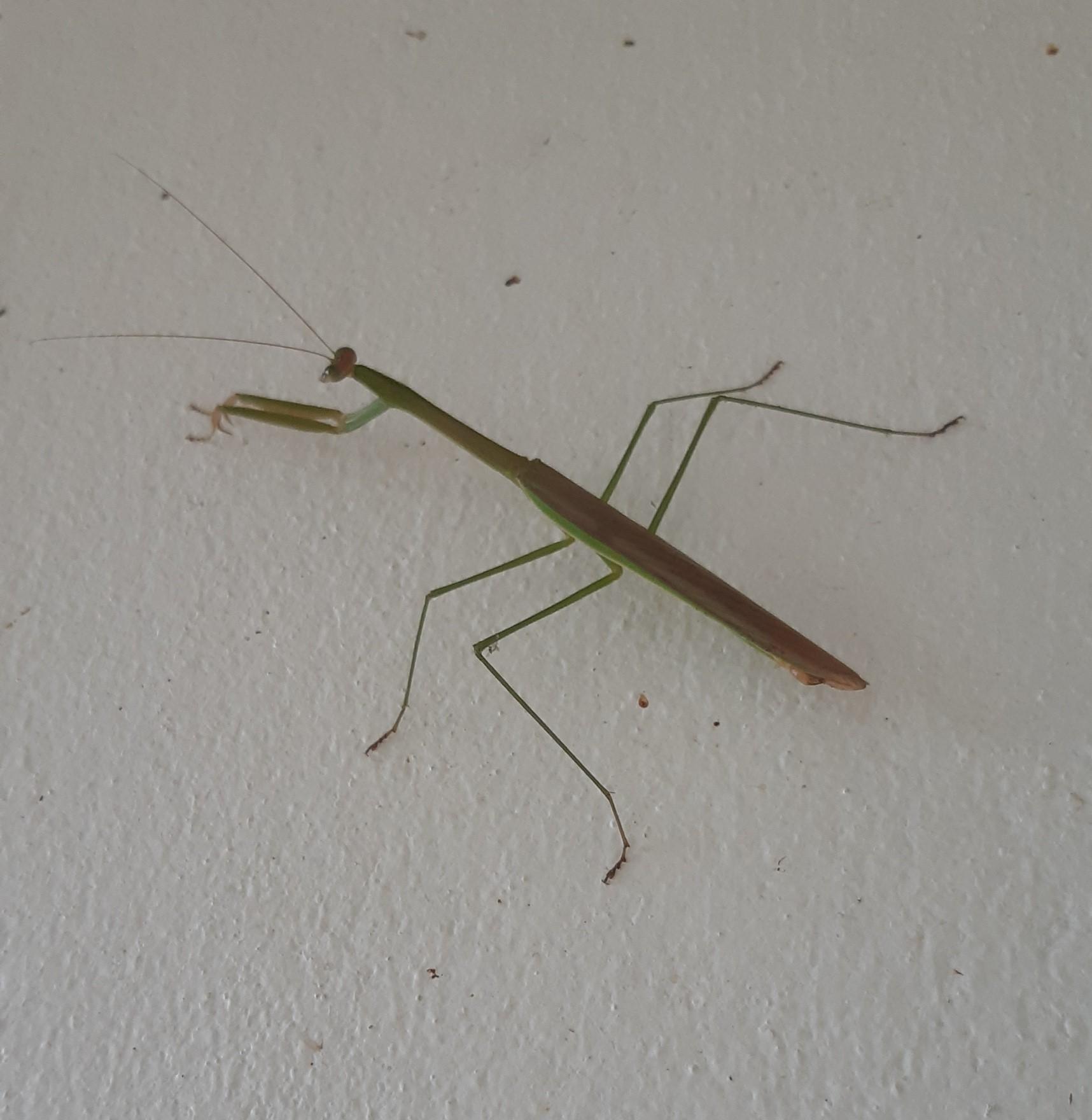 What's in your garden?-mantis-jpg