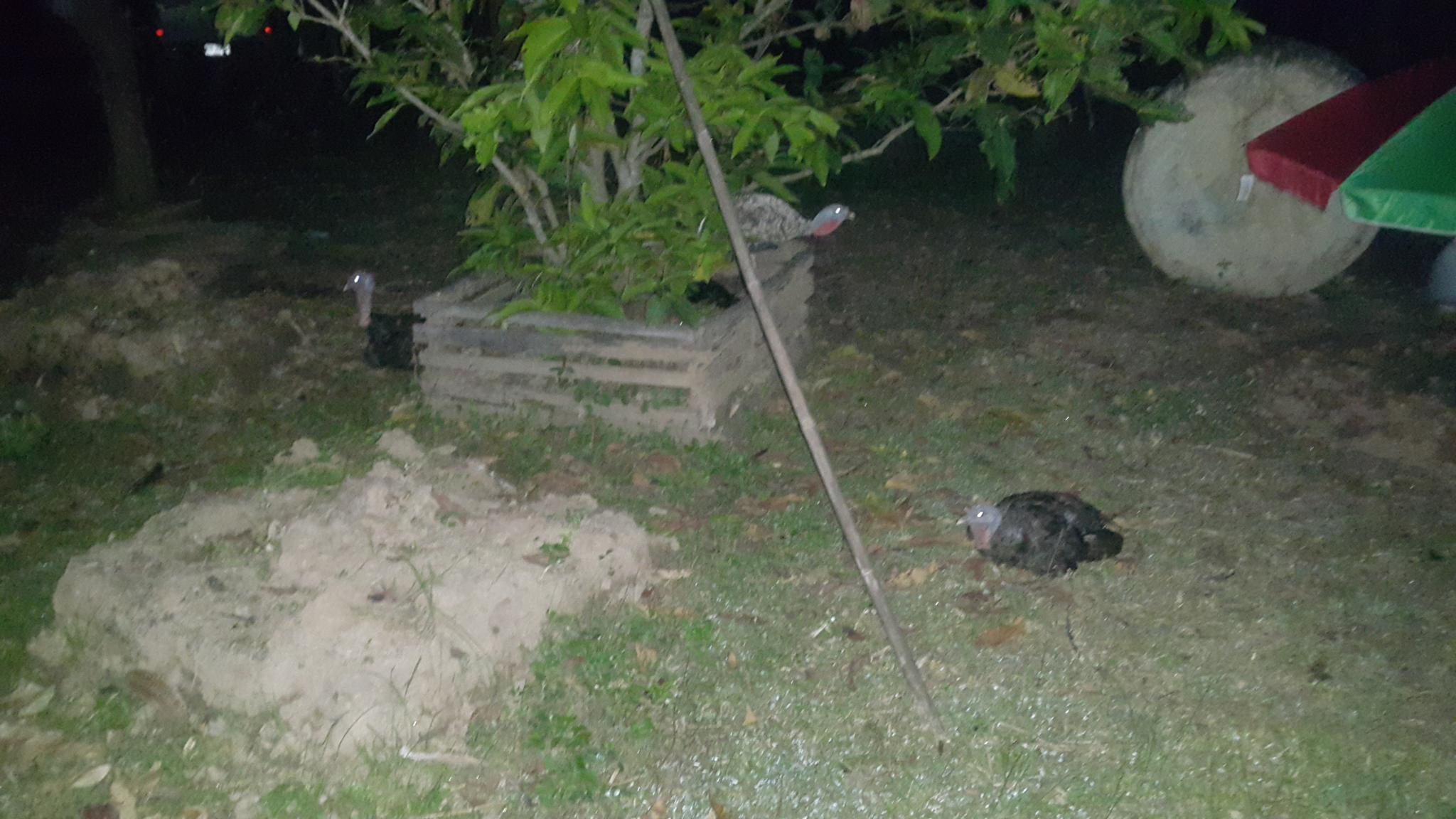 Turkey chicks?-20210930_204621-jpg