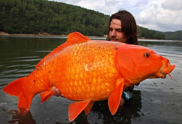 An Isaan Pond-giant-gold-fish1-jpg