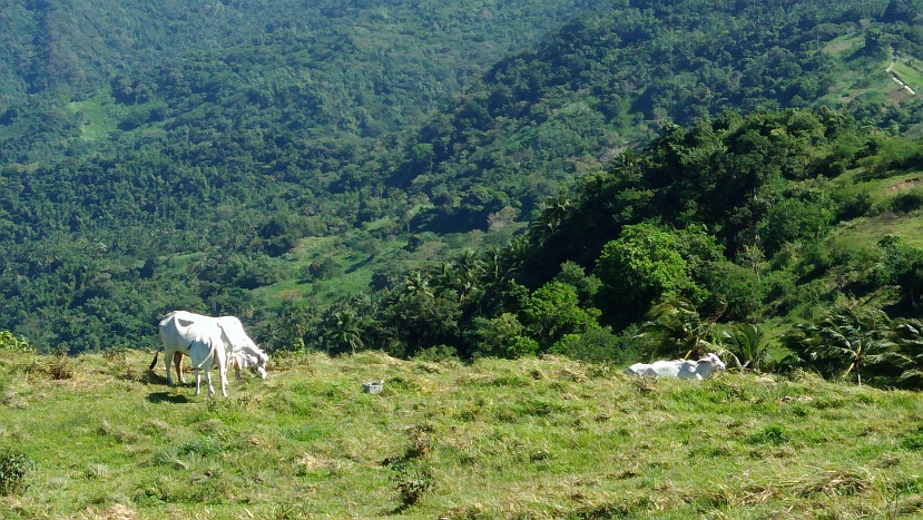 Hiking in the Phils-p_20180216_094757_cows-jpg