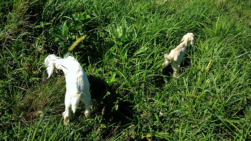 Hiking in the Phils-p_20180216_101513_baby_goats-jpg