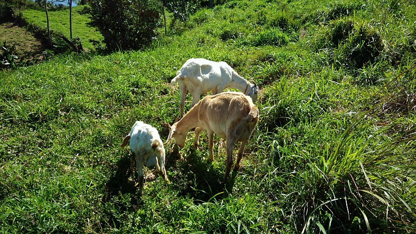 Hiking in the Phils-p_20180216_101519_goats-jpg