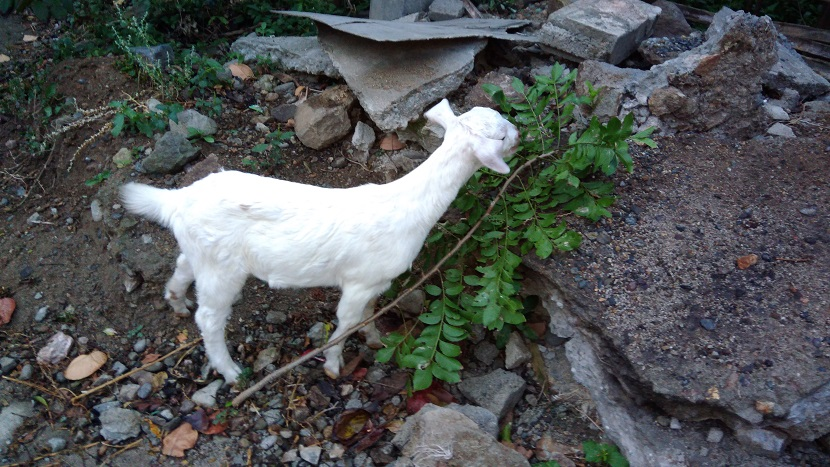Hiking in the Phils-01_goat-jpg
