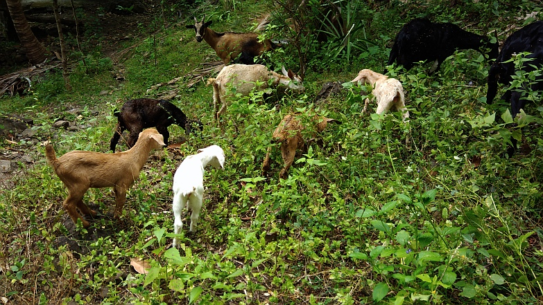 Hiking in the Phils-48_goats-jpg