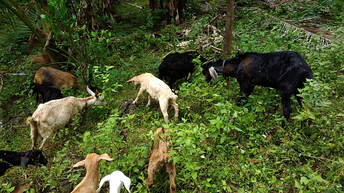 Hiking in the Phils-48a_goats2-jpg