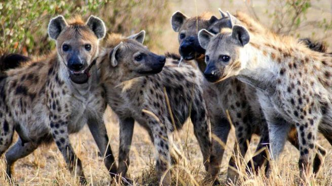 Who will win the American Presidential election 2020-hyenas-jpg
