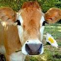 Cheese, Glorious Cheese!-cow-jpg