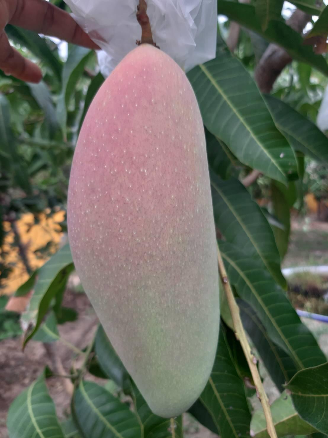 Mahachanok Mangoes-1589183199803-jpg