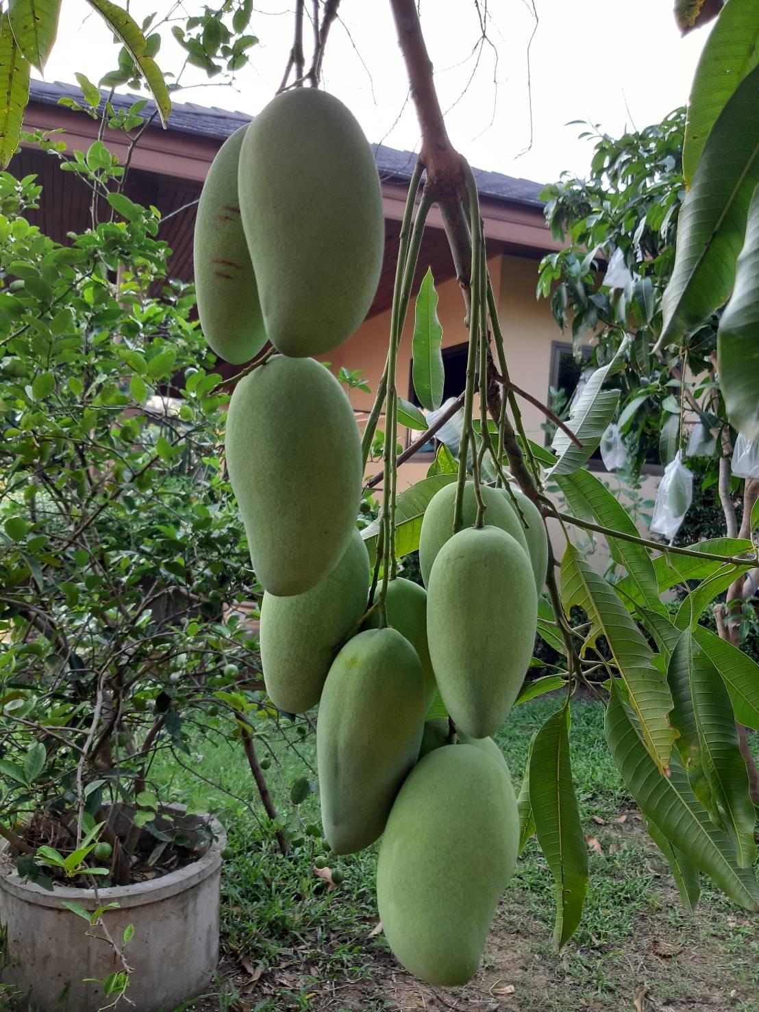 Mahachanok Mangoes-1589183219534-jpg