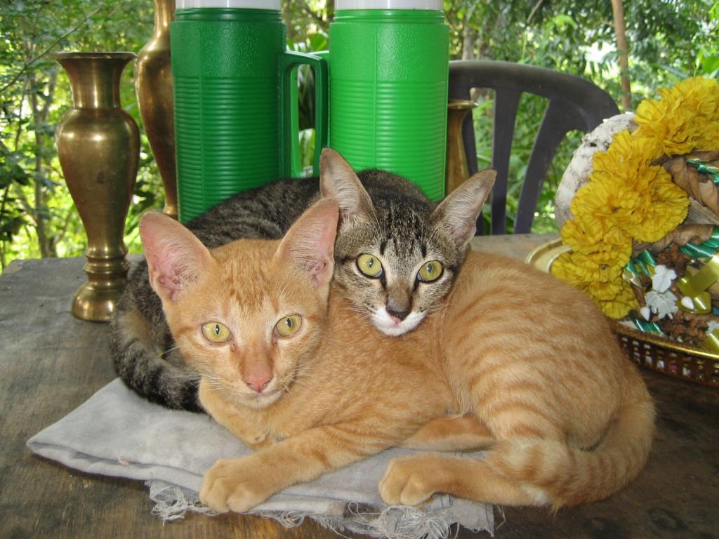 The Teakdoor Cat Thread-temple-cats-jpg
