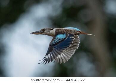 The Elon Musk Thread-female-blue-wing-kookaburra-taking-260nw