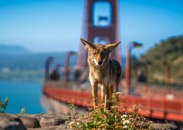 Post any pic anytime as many as u like-coyote-gg-bridge-jpeg