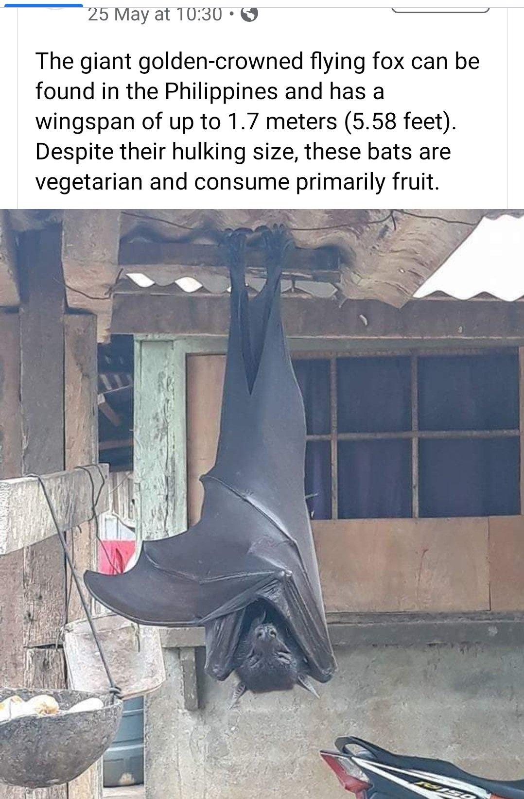 Huge Bat Eats Fruit-ebqibqhxsamjf8k-jpg