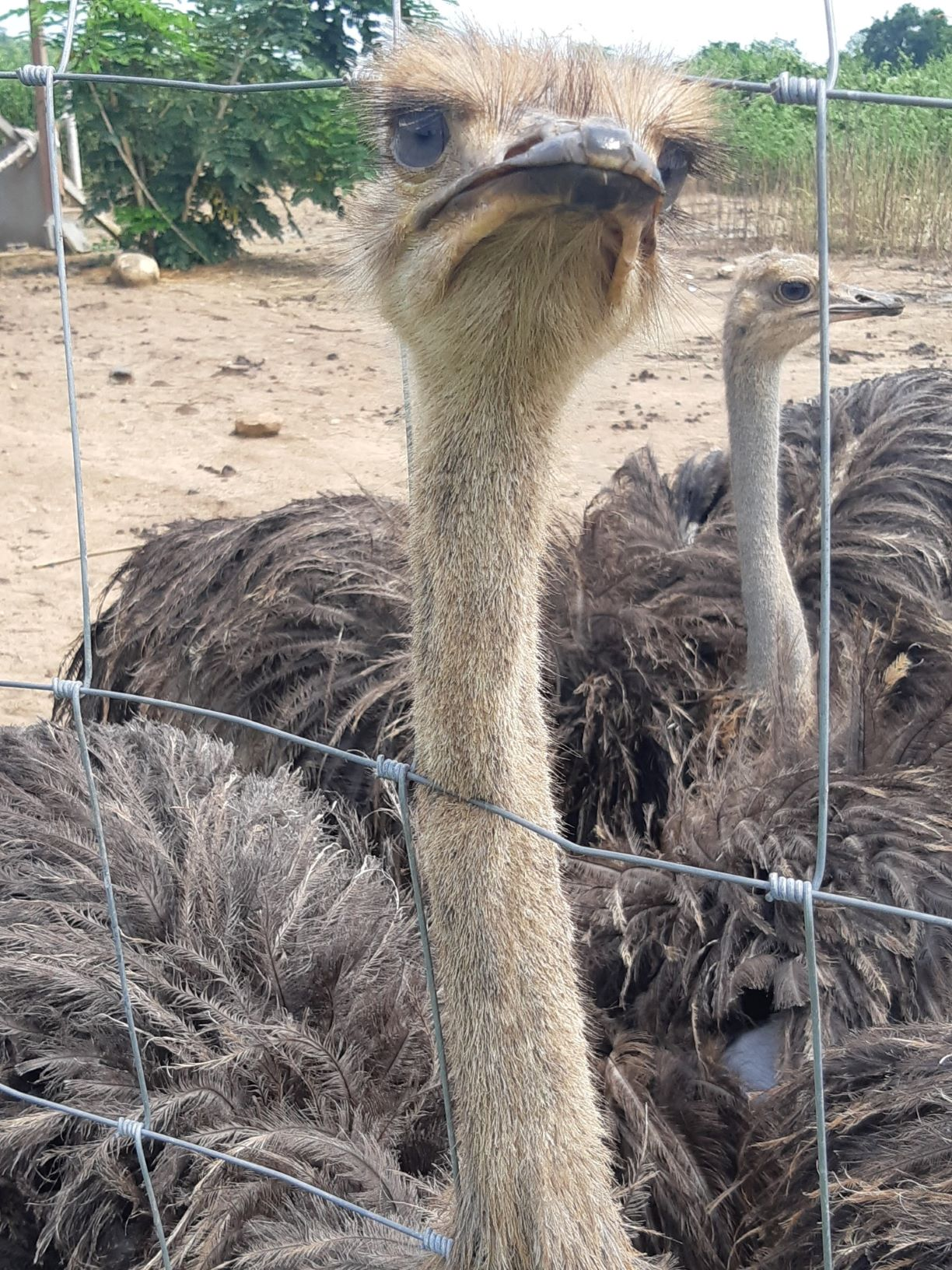 Post any pic anytime as many as u like-ostrich3-jpg