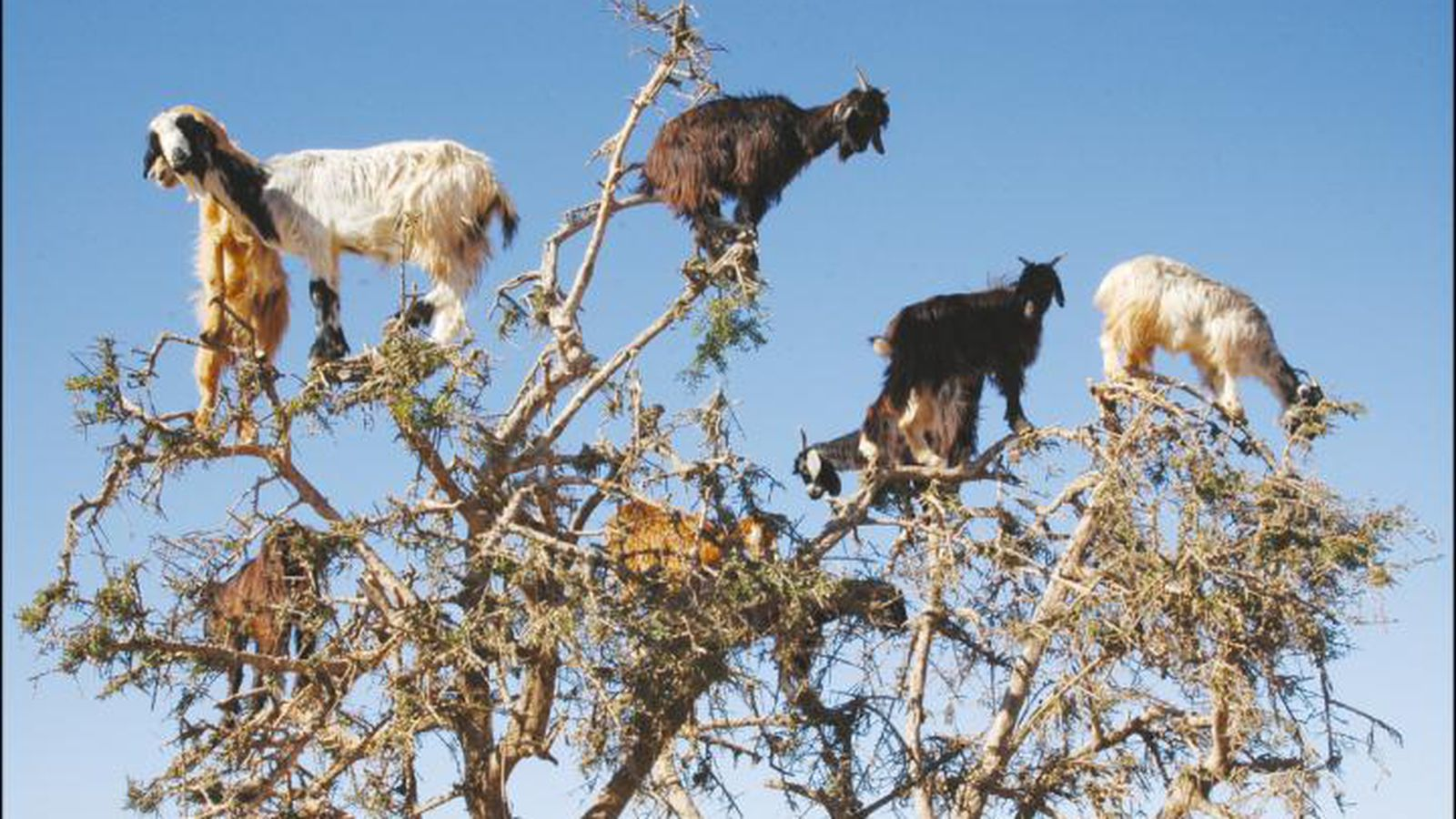 End Monkey Business Now!-goats-jpg