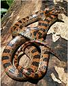 What kind of snake is this?-figure-1-asian-king-snake-dinodon