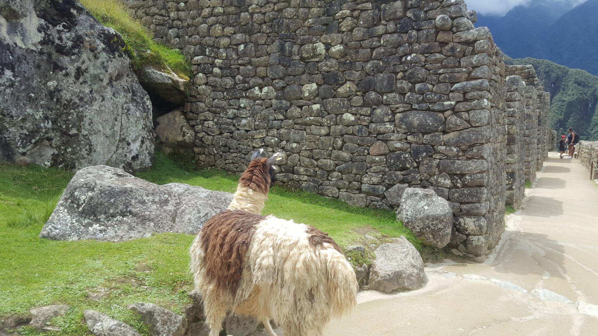 Peru: Lima, Cusco and Machu Picchu-llama-jpg